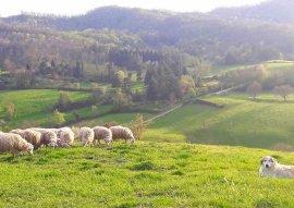 gregge con pastore