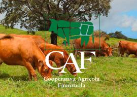 foto mucche con logo caf